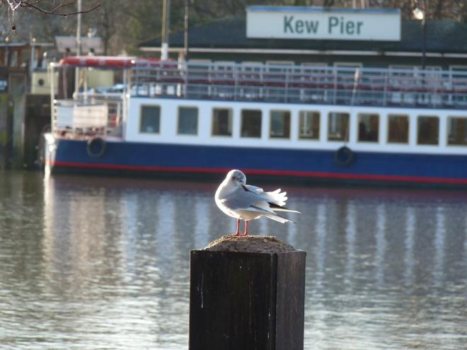 mouette à Kew Pier